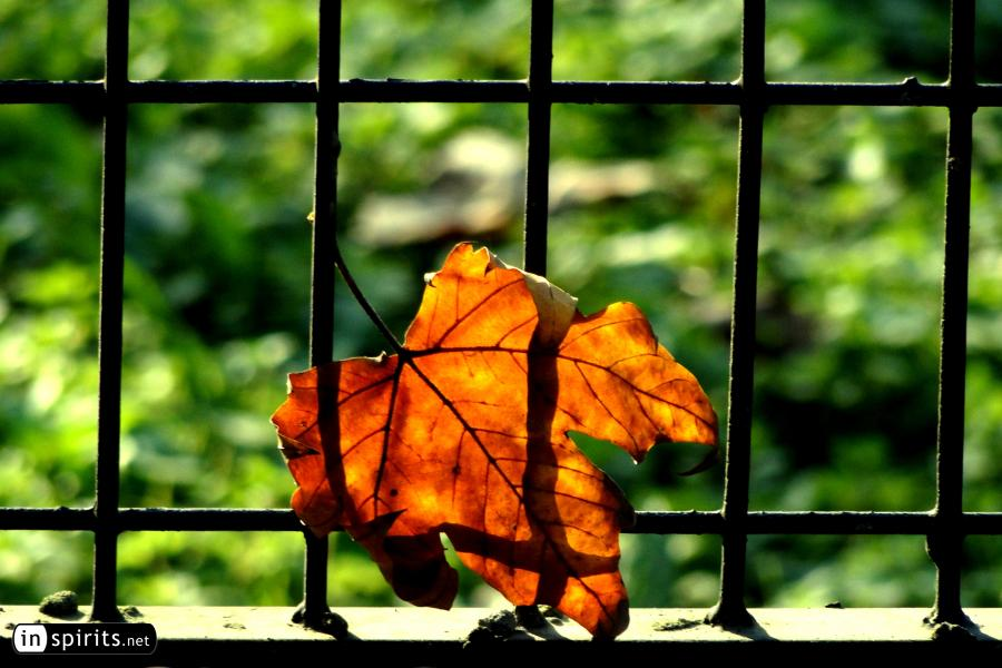 Autumn leaf in front of a fence