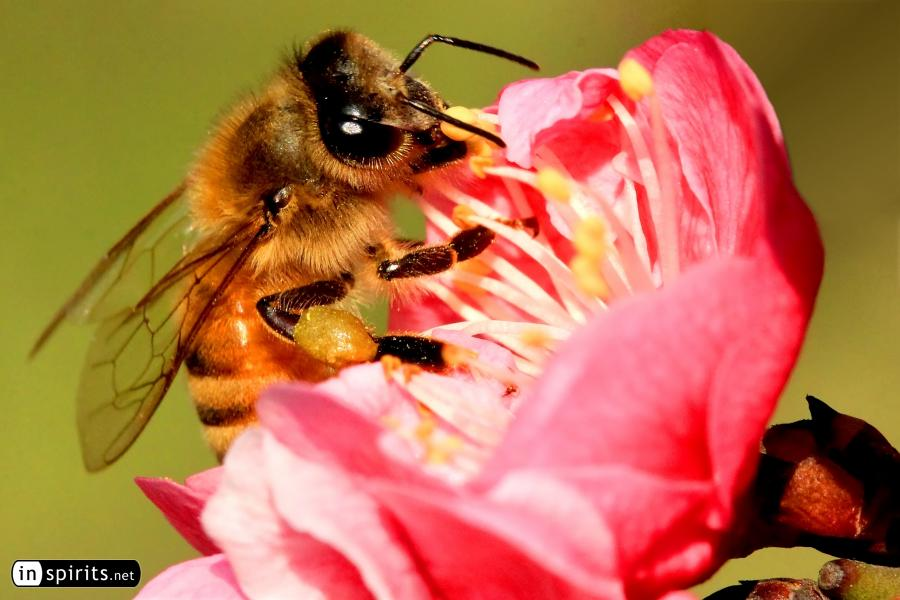 Honey bee is feasting from plum blossoms