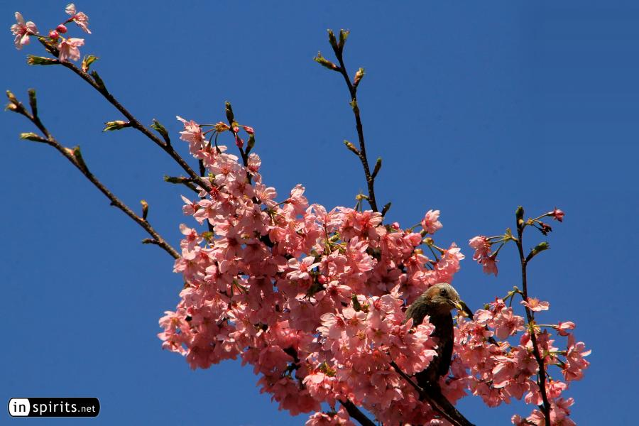 Bird Hiding in Pink Cherry Blossom Tree in Japan