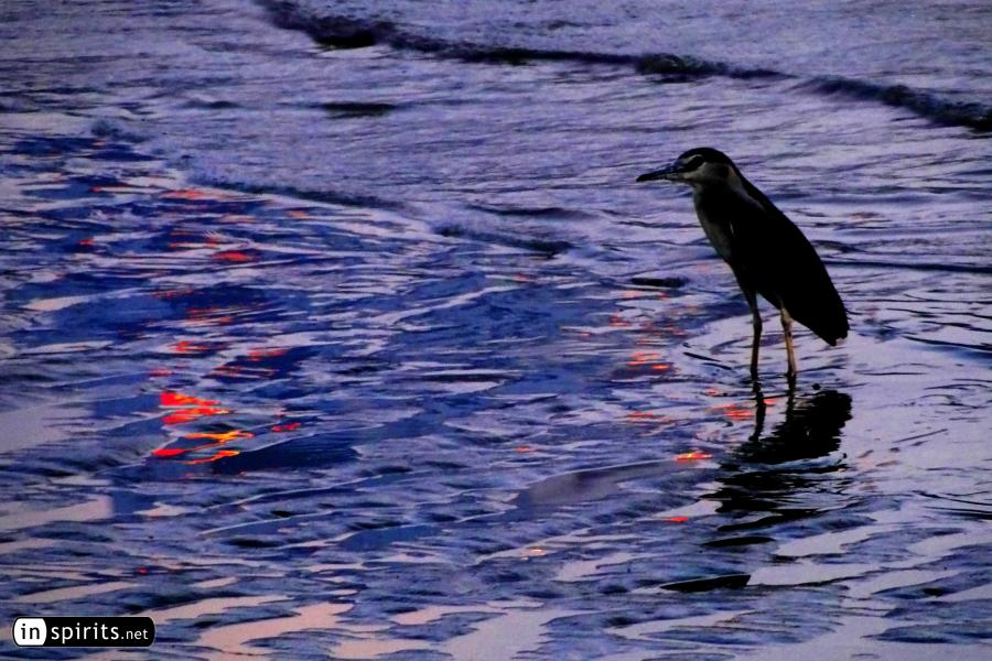 Bird in a river at sunset
