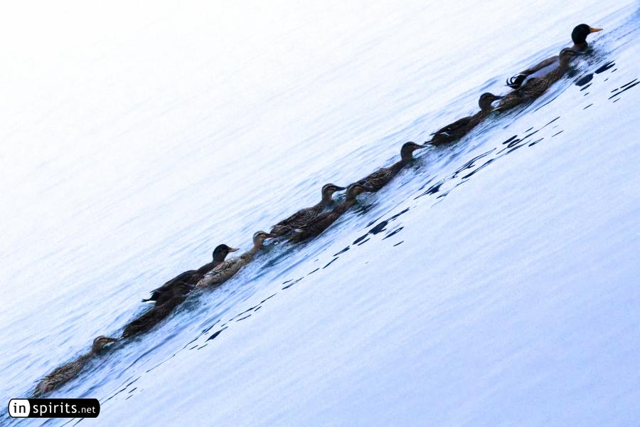 Ducks line on the winter lake to form a living brush stroke