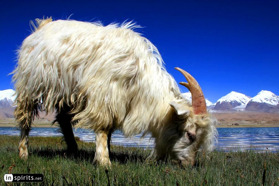 Mountain goat grazing at Karakul Lake