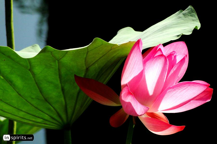 Lotus Flower in Beijing