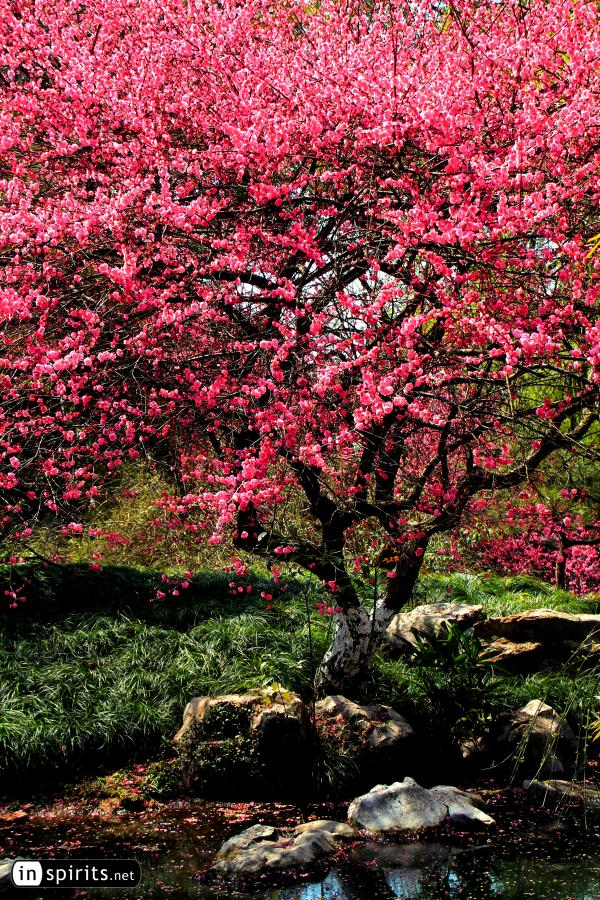 Plum Tree in Full Blossom at a Hangzhou Creek