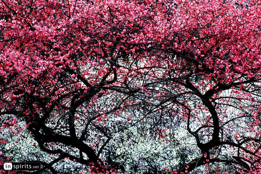 Pink & White Plum Blossom Trees Create a Passage to Spring