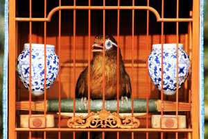 Bird Singing in his Cage at a Shanghai Park