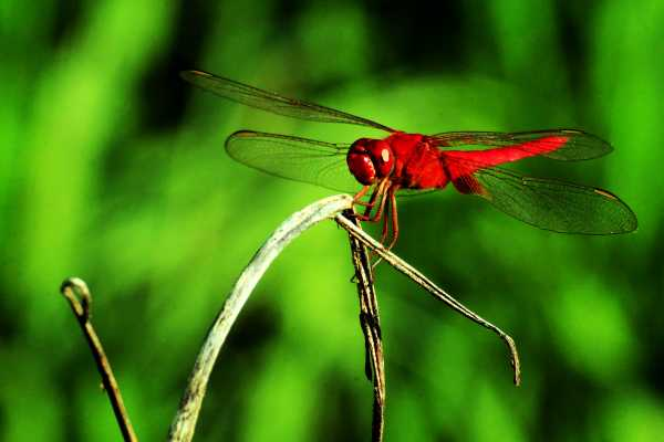 Mating Dragonfly Clad in Red in a Guangxi Rice Field