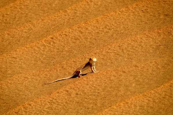 A lizard looks on at a desert dune in Inner Mongolia