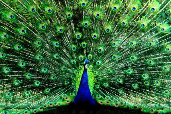 Peacock Flaring His Feathers as a Fan in a Courtship Display