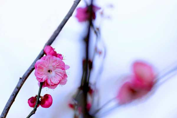 Plum blossom in early spring snow