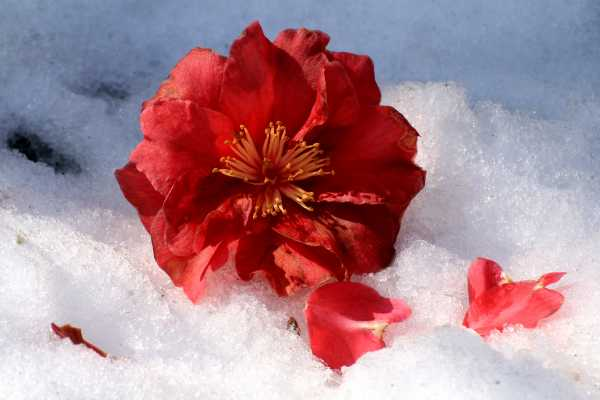 A flower's beauty, frozen in the icy snow
