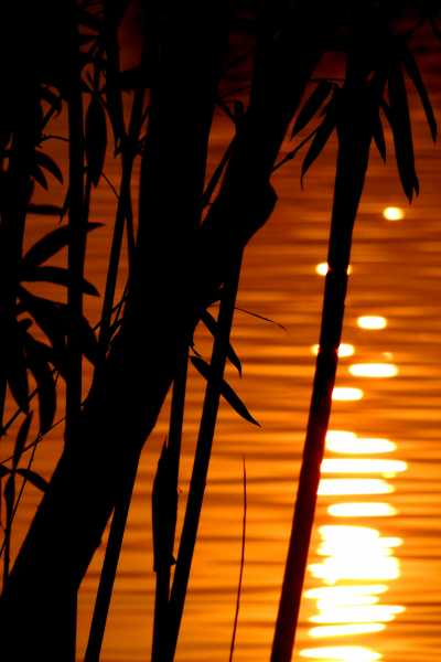 Sunset at Lake with Bamboo